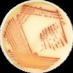 chromID™ MRSA SMART